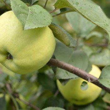 Яблоня Народное-1