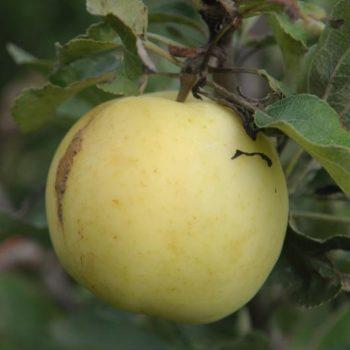 Яблоня Народное-2