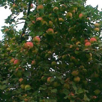Яблоня Башкирская красавица-2