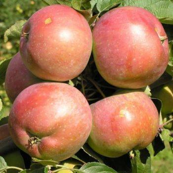 Яблоня Белорусское Сладкое-1