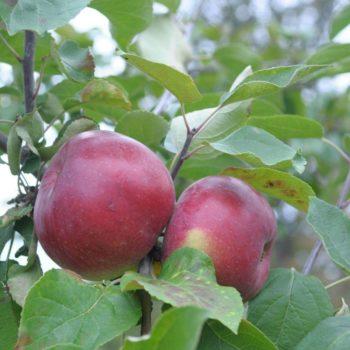 Яблоня Белорусское Сладкое-2