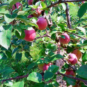 Яблоня Брусничное-1