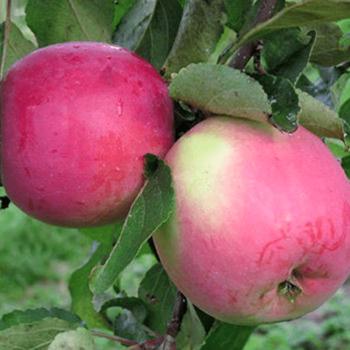 Яблоня Брусничное-2