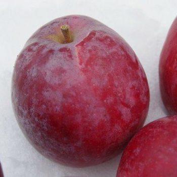 Яблоня Дарунок-1