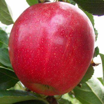 Яблоня «Гала Маст»-1