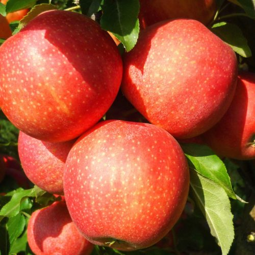 Яблоня «Гала Маст»