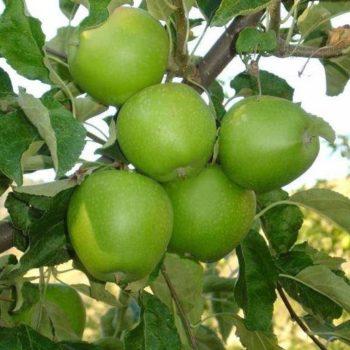 Яблоня Гренни Смит-2