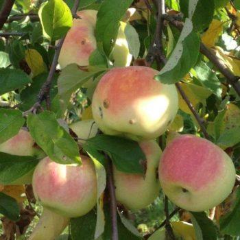 Яблоня Имрус-1