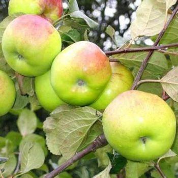 Яблоня Имрус-2