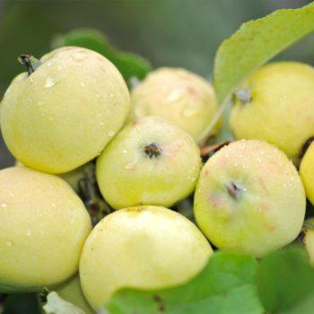 Яблоня Китайка золотая-1