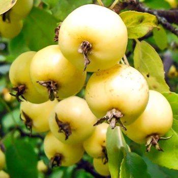 Яблоня Китайка золотая-2