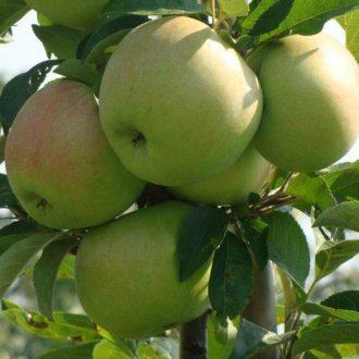 Яблоня колоновидная «Болеро»