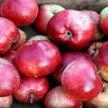 Яблоня колоновидная «Алые Паруса»-1
