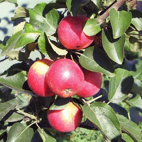 Яблоня колоновидная «Арбат»