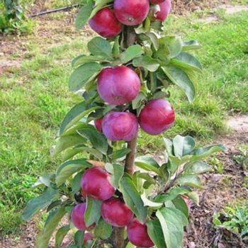 Яблоня колоновидная «Джин»-1