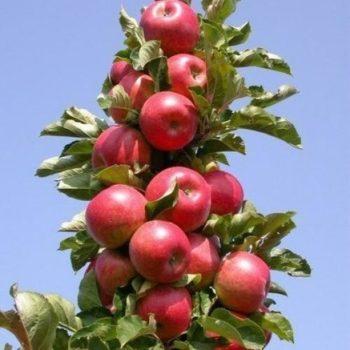 Яблоня колоновидная «Джин»-2