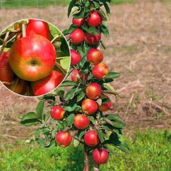 Колоновидная яблоня «Элита»-1