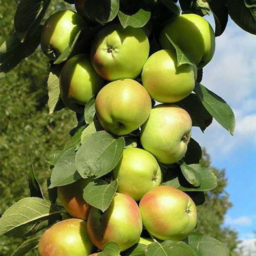 Яблоня колоновидная «Гирлянда»