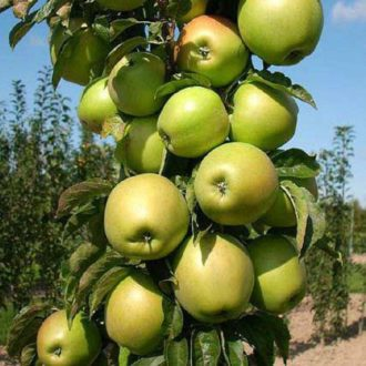 Яблоня колоновидная «Икша»