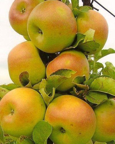 Яблоня колоновидная «Искорка»