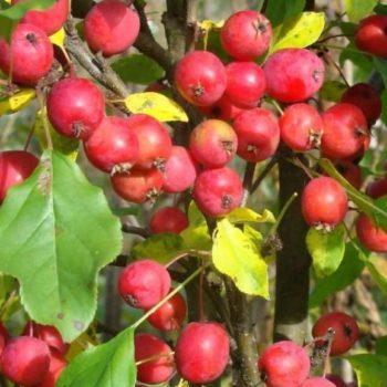 Яблоня колоновидная «Китайка красная»-2