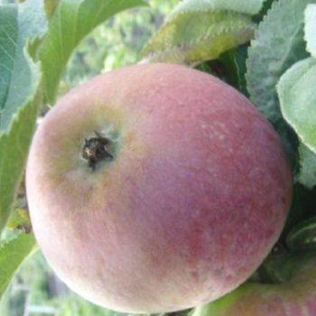 Яблоня колоновидная «Кумир»-2