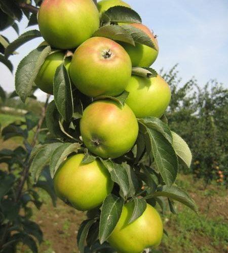 Яблоня колоновидная «Лукомор»