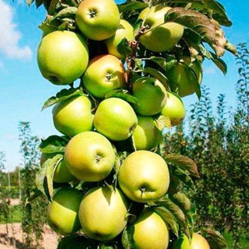 Колоновидная яблоня «Малюха»