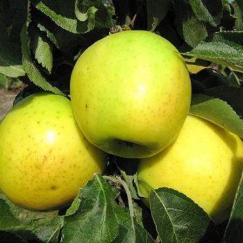 Колоновидная яблоня «Малюха»-1