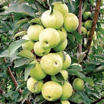 Колоновидная яблоня «Медок»-1