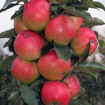Колоновидная яблоня «Московское Ожерелье»-1