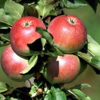 Яблоня колоновидная «Обелиск»