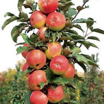 Колоновидная яблоня «Останкино»-1