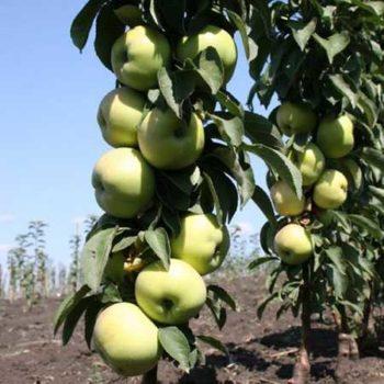 Колоновидная яблоня «Президент»-1