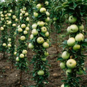 Колоновидная яблоня «Президент»-2