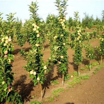 Яблоня колоновидная «Приокское»-2
