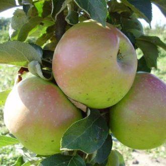 Яблоня колоновидная «Таскан»