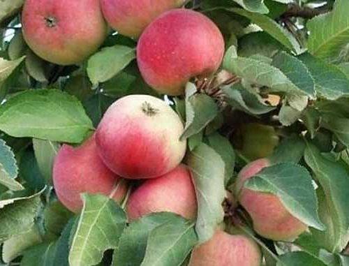 Яблоня колоновидная «Триумф»