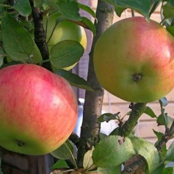 Яблоня колоновидная «Васюган»-1