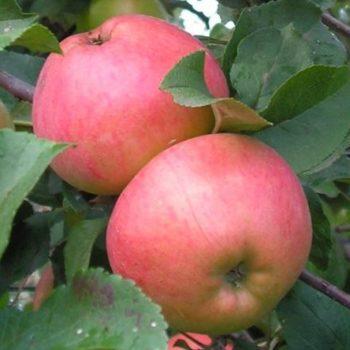 Яблоня Осенняя радость-1