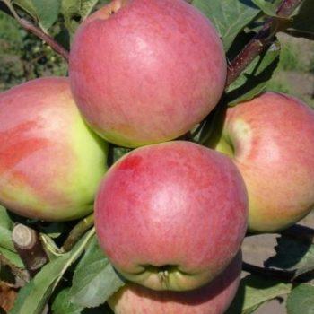Яблоня Осенняя радость-2