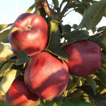 Яблоня Ред Чиф-2