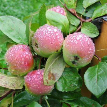 Яблоня Вишневое-2