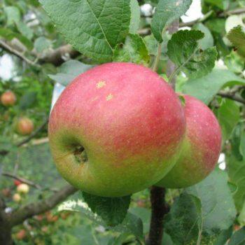 Яблоня Юный натуралист (Юннат)-1