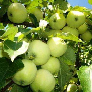 Яблоня Белый налив-1
