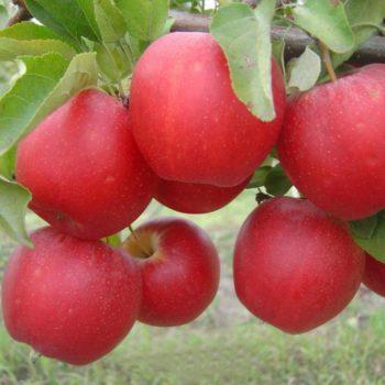 Яблоня Гала-2