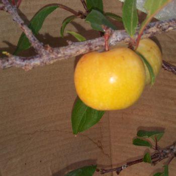 Априум (Плумкот, Плуот — гибрид абрикоса и сливы)-2