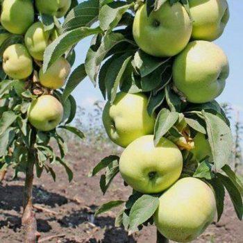 Яблоня колоновидная Зеленый Шум-1