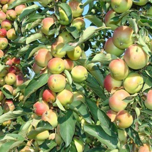 Яблоня колоновидная Зеленый Шум