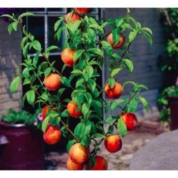 Персик колоновидный Медовый-1